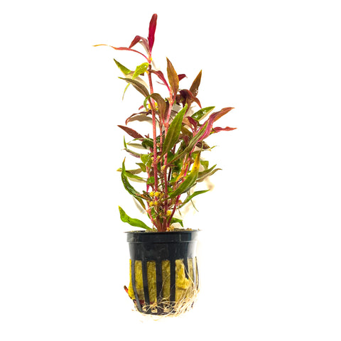 Alternanthera Reineckii | Easy Red Aquarium Stem Plant - H2O Plants