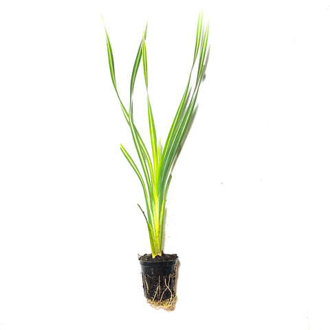 Variegated Cattail - H2O Plants