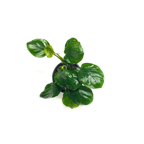 Anubias Barteri Golden Coin - H2O Plants