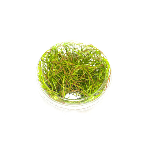 Juncus Repens - H2O Plants