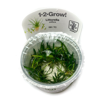 Tropica Littorella Uniflora Tissue Culture