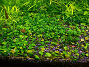 Dwarf Four Leaf Clover | Easy Carpeting Aquarium Plant - H2O Plants