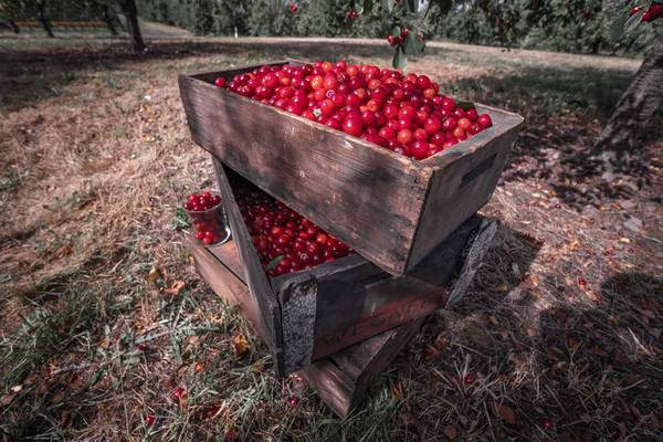 a box of cherries in a farm