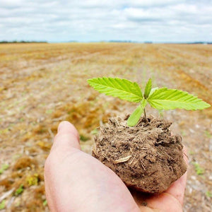 Hemp crop seedling