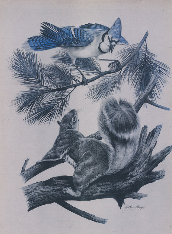 Blue Jay Bird & Squirrel Illustration Vintage Magazine Art Print Woodland Nature Wall Decor