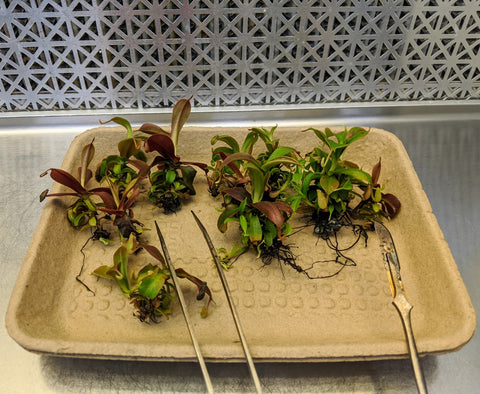 nepenthes propagation cutting
