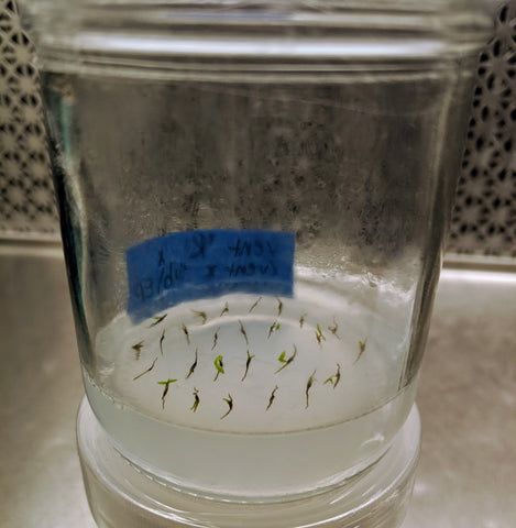 nepenthes seed germination