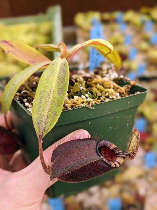 Nepenthes ampullaria 'Black Miracle' hybird