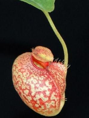 Nepenthes (aristolochioides x spectabilis) x aristolochioides BE-3922 (SEED-GROWN)