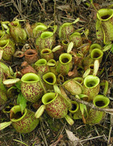"Nepenthes ampullaria ""Brunei Red Speckled"" BE-3007"