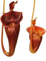 Nepenthes jacquelineae (G. Gadang) BE-3092
