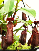 Nepenthes muluensis x lowii BE-3128
