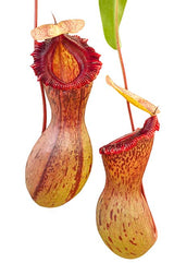 Nepenthes ventricosa (Madja-as)