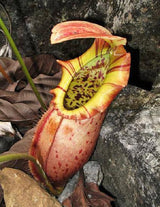 Nepenthes northiana BE-3357