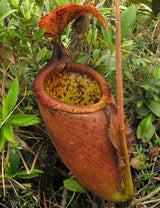 Nepenthes palawanensis BE-3651