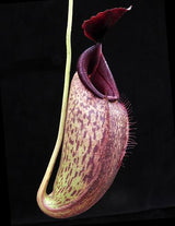 Nepenthes aristolochioides x robcantleyi BE-3695