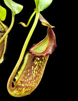 Nepenthes maxima x (lowii x macrophylla) BE-3709