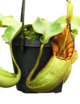 Nepenthes veitchii BE-3734 'Bario squat' (red-striped)
