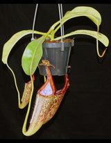 Nepenthes eymae BE-3736
