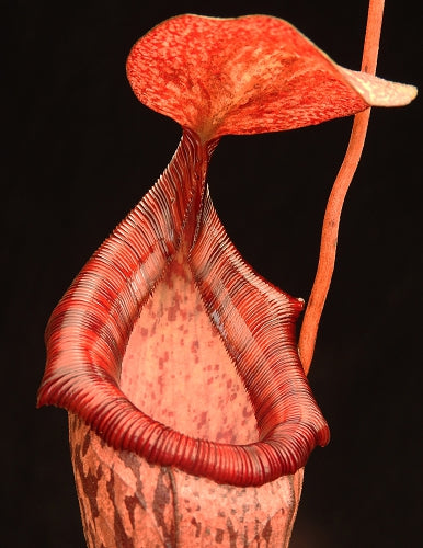 Nepenthes spectabilis x ventricosa BE-3745
