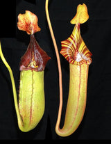 Nepenthes (veitchii x lowii) x robcantleyi BE-3841