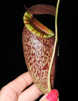 Nepenthes spectabilis x tenuis BE-3884