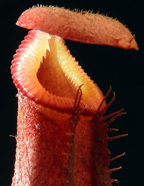 Nepenthes rajah x (burbidgeae x edwardsiana) BE-3902 *SEED-GROWN*