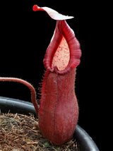Nepenthes petiolata BE-3913 *ONLY 1 AVAILABLE*