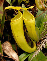 Nepenthes ceciliae BE-3956 *PRE-SALE*