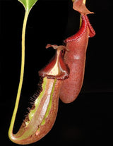 Nepenthes (lowii x macrophylla) x robcantleyi BE-4018 *SEED-GROWN* *PRE-SALE*