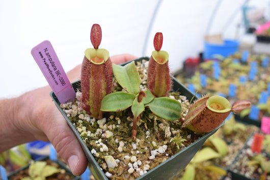 Nepenthes ampullaria BE-3390 'Lime Twist'