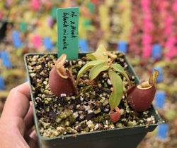 Nepenthes x hookeriana x ampullaria 'Black Miracle' *LOWLAND SALE*