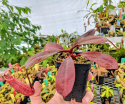 Nepenthes peltata BE-3464