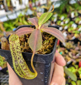 Nepenthes vogelii BE-3256
