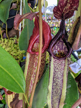 "Nepenthes maxima BE-3067 x alata ""Luzon"" *SEED-GROWN*"
