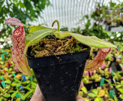 Nepenthes burbidgeae x glandulifera BE-3705