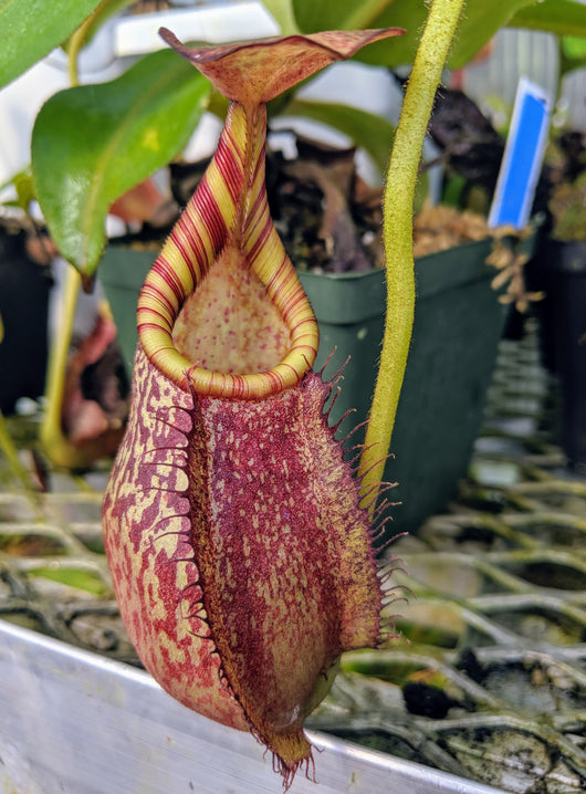 Nepenthes spectabilis x veitchii BE- 3636 *SEED-GROWN*