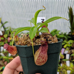 Nepenthes aristolochioides x burkei - BE-3832