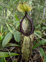 Nepenthes mapuluensis (Tabalar Mountains, Borneo) *SEED-GROWN* 9