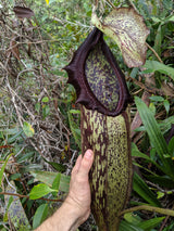 Nepenthes mapuluensis Clone 1 (Tabalar Mountains, Borneo)