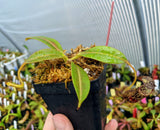Nepenthes stenophylla BE-3905