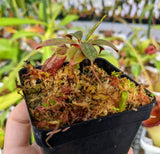 Nepenthes attenboroughii *SPECIMEN*
