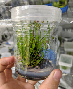 Drosera binata (Tissue Culture Container)