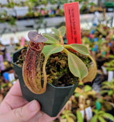 "Nepenthes robcantleyi ""Queen of Hearts"" x fusca BE-3893"