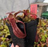 Nepenthes boschiana BE-3643