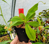 Nepenthes mira BE-3868