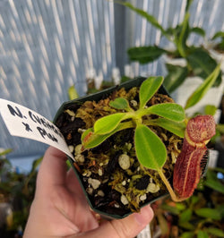 Nepenthes (veitchii x lowii) x platychila (BE-3920)