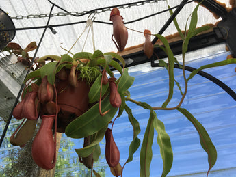 Nepenthes x Ventrata - Excellent beginner plant