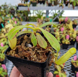 Nepenthes burkei x veitchii BE-3934