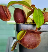 Nepenthes ampullaria 'Black Miracle'